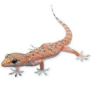 lizard .........